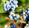 Quercetin in red wine, blue berries, citrus fruit and apples protect against neurological diseases